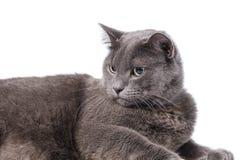 Gato británico adulto joven del shorthair con los ojos verdes Fotografía de archivo