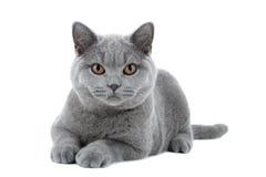 Gato británico azul de Shorthair Foto de archivo