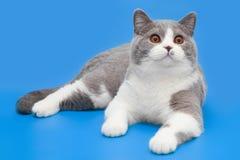 Gato británico bicolor grueso en un fondo azul Imágenes de archivo libres de regalías