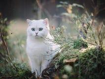 Gato británico blanco del shorthair en el bosque del otoño foto de archivo