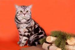 Gato británico criado en línea pura Foto de archivo