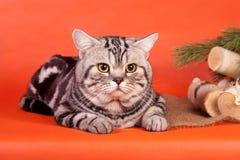 Gato británico criado en línea pura Imagenes de archivo