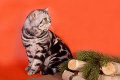 Gato británico criado en línea pura Fotos de archivo