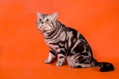 Gato británico criado en línea pura Fotos de archivo libres de regalías