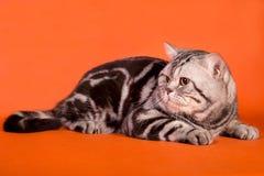 Gato británico criado en línea pura Imágenes de archivo libres de regalías