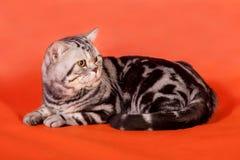 Gato británico criado en línea pura Foto de archivo libre de regalías
