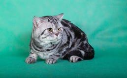 Gato británico criado en línea pura Imagen de archivo libre de regalías