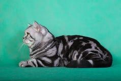 Gato británico criado en línea pura Fotografía de archivo libre de regalías