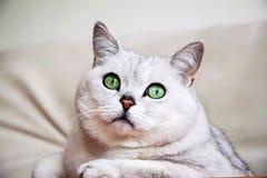 Gato británico de plata grande con los ojos verdes inteligentes y hermosos atento que nos miran Foto de archivo