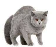 Gato británico de Shorthair, 8 meses, recorriendo Fotos de archivo