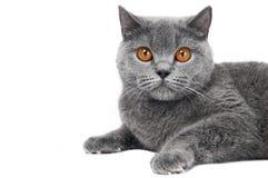 Gato británico de Shorthair aislado Fotos de archivo