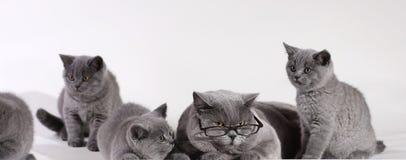 Gato británico de Shorthair con los gatitos Foto de archivo libre de regalías