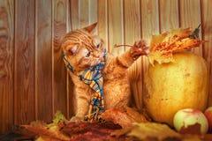 Gato británico de Shorthair Gato rojo en una bufanda azul con las hojas de otoño de la caída que se sientan en el fondo de madera Imagen de archivo libre de regalías