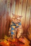 Gato británico de Shorthair Gato rojo en una bufanda azul con las hojas de otoño de la caída que se sientan en el fondo de madera Imagenes de archivo