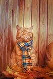 Gato británico de Shorthair Gato rojo en una bufanda azul con las hojas de otoño de la caída que se sientan en el fondo de madera Imagen de archivo