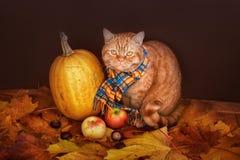 Gato británico de Shorthair Gato rojo en una bufanda azul con las hojas de otoño de la caída que se sientan en el fondo de madera Foto de archivo