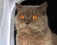 gato británico de Shorthair de la lila imagen de archivo