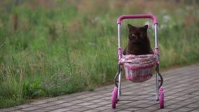Gato británico de Shorthair que pone en cochecito de bebé colorido al aire libre Gato nacional juguetón que se sienta en una carr metrajes