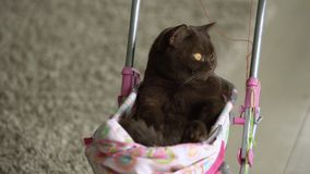 Gato británico de Shorthair que pone en cochecito de bebé colorido dentro Gato nacional juguetón que se sienta en una carretilla  almacen de video