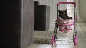 Gato británico de Shorthair que pone en cochecito de bebé colorido dentro Gato nacional juguetón que se sienta en una carretilla  metrajes