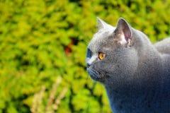 Gato británico del pelo corto que mira fijamente la presa Fotos de archivo libres de regalías