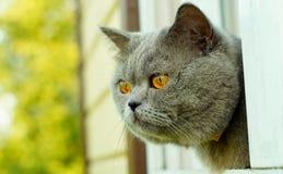 Gato británico del pelo corto que mira fuera de la ventana imagenes de archivo