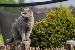 Gato británico del pelo corto que se coloca en la cerca del jardín Fotografía de archivo