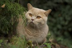 Gato británico del pelo corto que se sienta en el jardín Imágenes de archivo libres de regalías