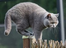 Gato británico del pelo corto que sube hábilmente encima de la cerca del jardín Imagenes de archivo