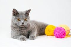 Gato británico del shorthair Fotos de archivo libres de regalías