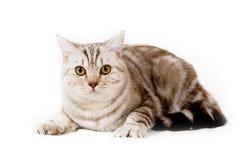 Gato británico del shorthair Foto de archivo libre de regalías