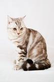 Gato británico del shorthair Fotografía de archivo