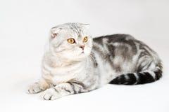 Gato británico del shorthair Foto de archivo