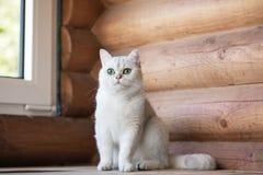 Gato británico del shorthair al aire libre Fotografía de archivo