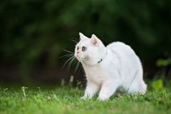 Gato británico del shorthair al aire libre Fotos de archivo