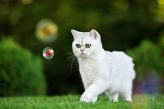 Gato británico del shorthair al aire libre Imagen de archivo libre de regalías