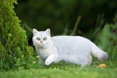 Gato británico del shorthair al aire libre Foto de archivo