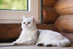 Gato británico del shorthair al aire libre Fotos de archivo libres de regalías