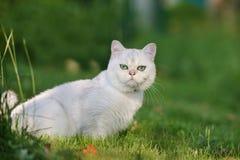 Gato británico del shorthair al aire libre Fotografía de archivo libre de regalías