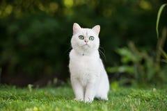 Gato británico del shorthair al aire libre Imagenes de archivo