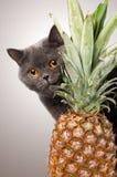 Gato británico del shorthair con la piña Imagen de archivo