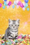 Gato británico del shorthair con las flámulas imagen de archivo libre de regalías