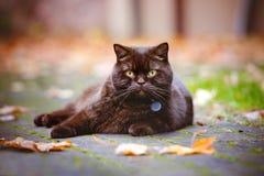 Gato británico del shorthair de Brown al aire libre Imagenes de archivo