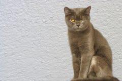 Gato británico del shorthair de Brown que se sienta con el fondo blanco de la pared Imágenes de archivo libres de regalías