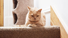 Gato británico del shorthair del jengibre enojado que miente en las escaleras Fotografía de archivo