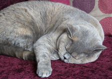 Gato británico del shorthair el dormir Foto de archivo libre de regalías