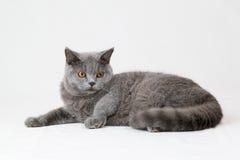Gato británico del shorthair en el fondo blanco Imagenes de archivo