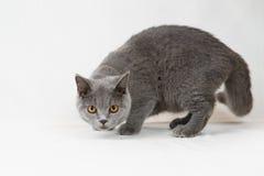 Gato británico del shorthair en el fondo blanco Fotos de archivo