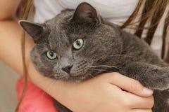 Gato británico del shorthair en manos de las muchachas fotografía de archivo