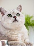 Gato británico del shorthair ligero precioso con los ojos verdes en un primer blanco del fondo Concepto y ecología veterinarios d Foto de archivo